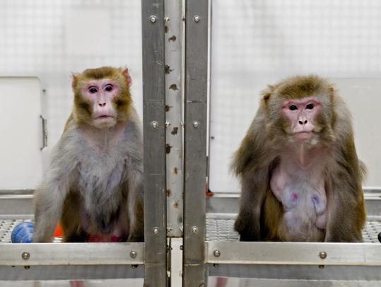 Rhesus monkeys, 27 (left), on a restricted diet, and Owen, 29, on an unrestricted one, are among the oldest surviving subjects of the two-decade study.