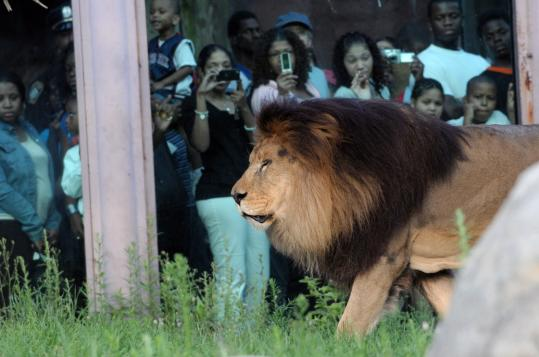 Visitors watched a male lion at the Franklin Park Zoo last August. Deep cuts in the state budget may force the Boston institution to shu