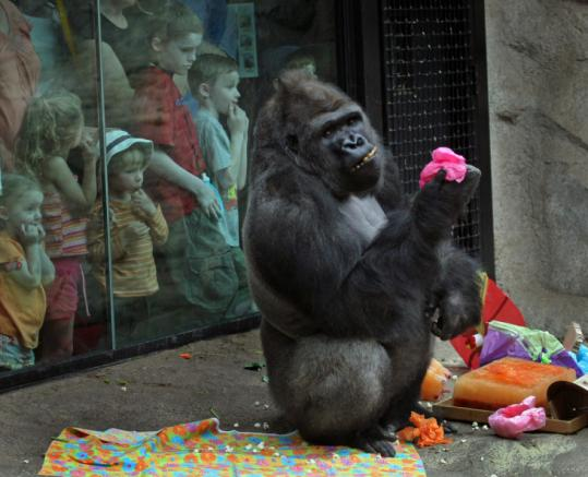 Gigi, one of the gorillas at Franklin Park Zoo, celebrated her birthday early yesterday. She is 37.