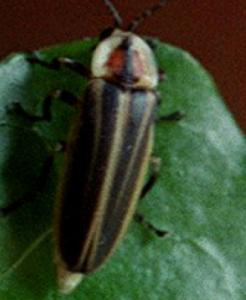 In the daytime, most fireflies look like a second cousin to the junebug.