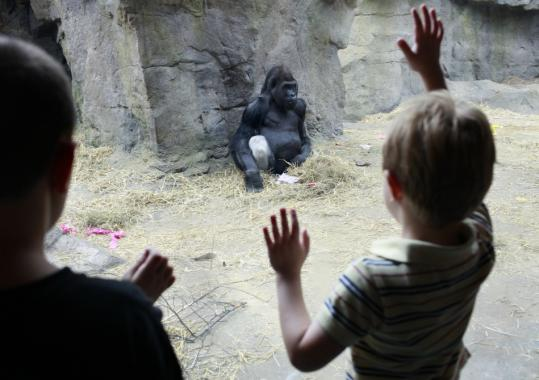 Four-year-old Mark Griffin (right) looked through the glass yesterday at Kitombe, a gorilla at Franklin Park Zoo in Dorchester.