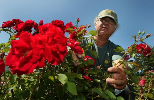 The Rose Man - Irwin Ehrenreich - owns a nursery with his wife, Cindy Ehrenreich, in Carver. After an accident ended his days as a surgeon, he developed an intense interest in growing roses.