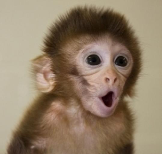 Four baby monkeys, including Spindler (above), were born through the DNA research. All appear healthy.