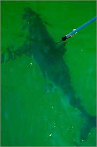 Scientists tagged this great white shark and another off Chatham yesterday.