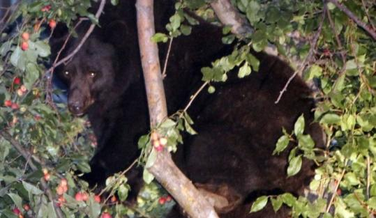 A bear forages for food in a tree in Aspen, Colo. Nine bears have been killed by wildlife officers in that region this summer.