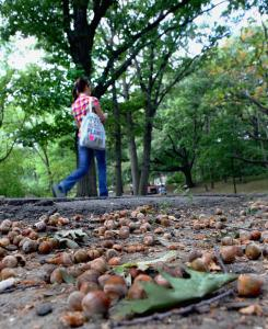 Piles of acorns covered the ground at the Riverway in Boston. Walkers and cyclists are treading carefully.