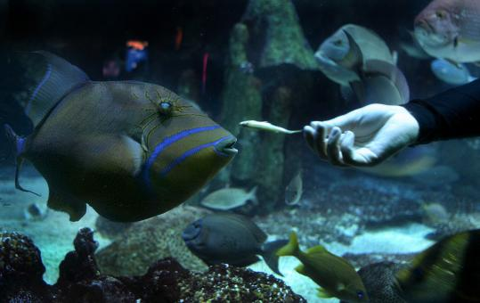 An adult queen triggerfish swam in the ocean tank at New England Aquarium in Boston. They can grow to about a foot and a half long and display iridescent yellows and blues.