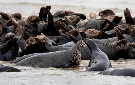 A colony of gray seals frolicked at Head of the Meadow Beach in Truro.