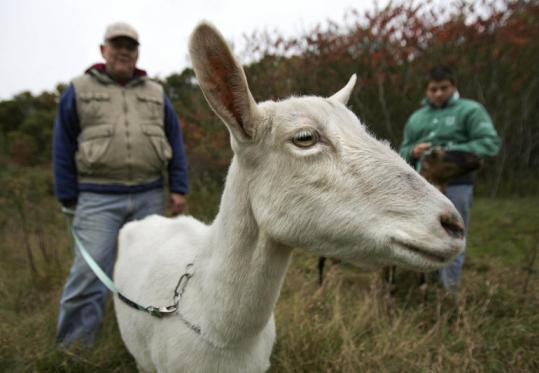 Bob Decelle, special projects manager for the Andover Conservation Commission, with Blackie, a saanen goat.