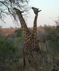 Kruger National Park is rich with game, including giraffes.