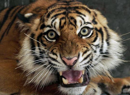 A Sumatran tiger awaited surgery for injuries it received when it was caught in a snare. It died Monday before being treated.