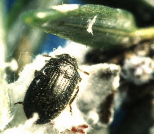 a battle for our hemlocks Partnership's plant sale funds fight for eastern hemlock  will use sale proceeds in its battle to save the eastern hemlock tree from hemlock woolly adelgid, a devastating invasive insect pest.