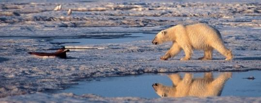 The polar bear is among the species threatened by the earth's changing climate.