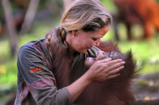 "Lone Droscher-Nielsen, founder and director of the Nyaru Menteng Orangutan Rehabilitation Project, said returning orangutans to the wild ""is our ultimate objective.'' She plans to release 75 rehabilitated orangutans into the wild early next year."