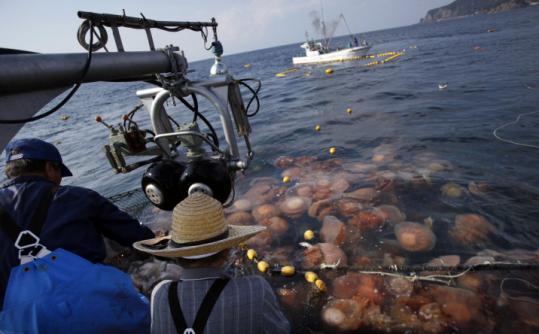Japanese fishermen pulled in a net full of jellyfish. Once rare, jellyfish swarms are now an almost annual occurrence.
