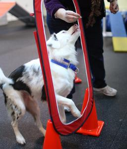 Kenzie, an Aussie mix, gets a treat as reinforcement during agility class at City Dog Training in Somerville.
