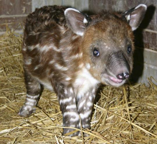 Still sporting the white stripes that will fade in a few months, the baby Baird tapir born Dec. 5 has been named Tupelo by Franklin Park Zoo staff. Tapirs are related to horses and rhinos.