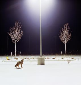 "Photographer Amy Stein's ""Howl'' is featured in her show ""Domesticated'' at the Harvard Museum of Natural History."