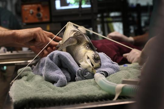 A turtle with kidney problems was sedated and secured to an operating table to undergo a surgical procedure at the New England Aquarium.