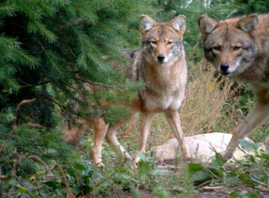 New research says these large, russet coyotes, born on Cape Cod, are a hybrid of wolf and coyote.