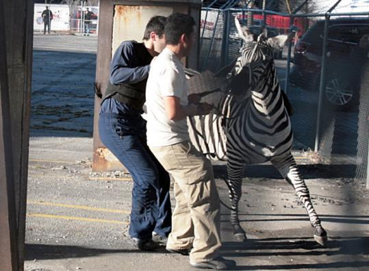 Workers tried to contain a circus zebra after it escaped and was captured yesterday on an Atlanta highway ramp.