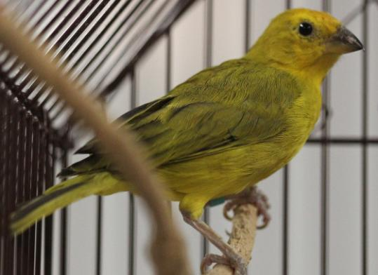 A saffron finch was one of many confiscated from a house in Ashland last weekend.