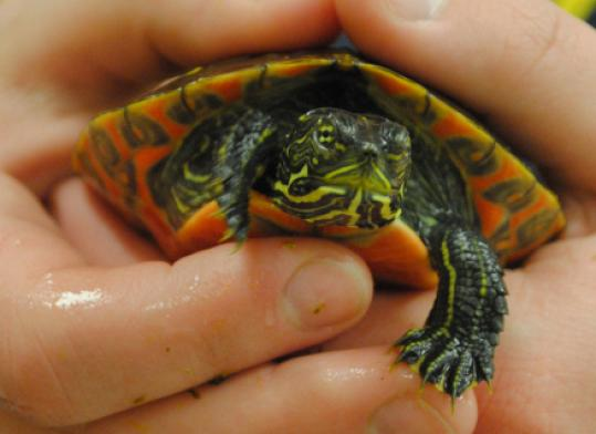 This young northern red-bellied cooter is spending the winter in a tank at Hingham High School.