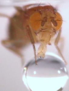 A fruit fly extends its proboscis, a straw-like snout, to feed on a droplet of sugar water.