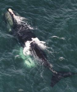 A North Atlantic right whale and her calf (submerged at left) swam off the coast of Rhode Island. The sighting of the 98 whales set a record.