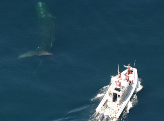 This image taken with NOAA permit 774-1875 approached the right whale under permit 932-1905 to disentangle it.
