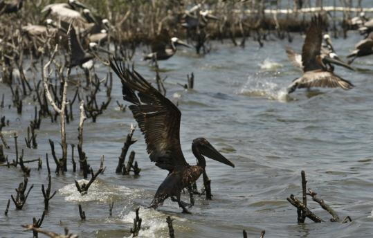 Millions of gallons of brown crude are coating pelicans and other birds and wildlife in Louisiana. The government is facing questions as to why it can't assert control over the cleanup.