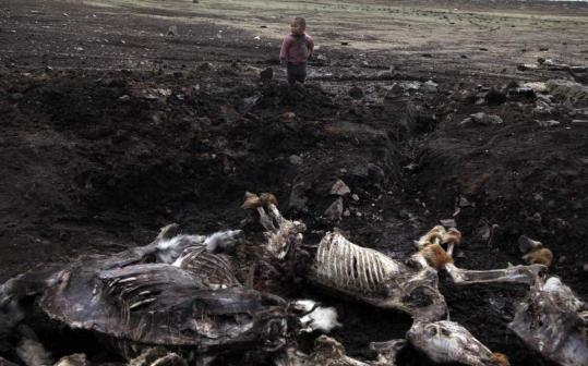 A child stood near carcasses piled up at the Zuunbayan-Ulaan district in Mongolia last month. Mongolians must dispose of the more than 8 million animals that died during the severe winter.