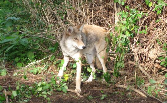Coyotes have been confirmed in all state counties but Dukes and Nantucket, and their numbers are growing in Brookline.