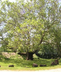 The largest tree in the Nutmeg State is the Pinchot sycamore in Simsbury.