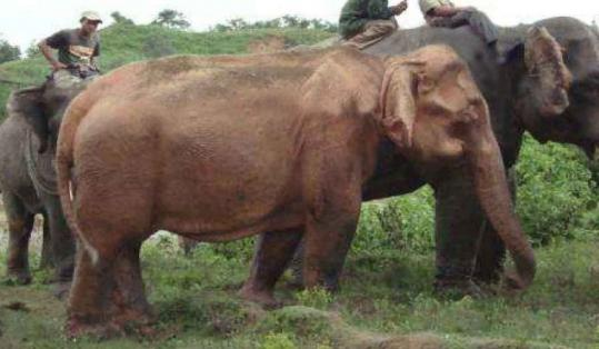 The white elephant found Saturday will be the fourth held in captivity in Myanmar, where the animals are revered.