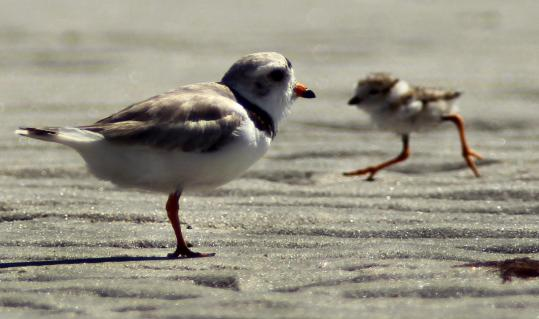 A piping plover watched over its days-old offspring Thursday on Plymouth Beach.