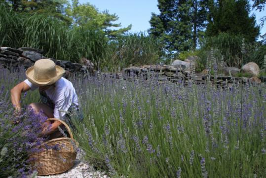 The lavender at Fort Hill Farms in Connecticut.