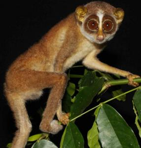 Researchers snapped the Horton Plains slender loris, long feared extinct, in Sri Lanka&#8217;s central forests late last year.