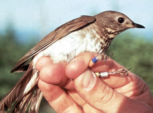 The Bicknell's thrush spends the summers and breeds at high elevations in New York's Adirondacks, northern New England, and Canada. It winters in the Caribbean islands.