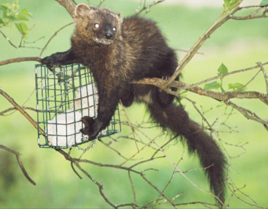 A relative of the weasel, the fisher preys on rodents and small game. MassWildlife officials have warned those in Greater Boston to keep house cats indoors and avoid putting out suet, which attracts fishers.