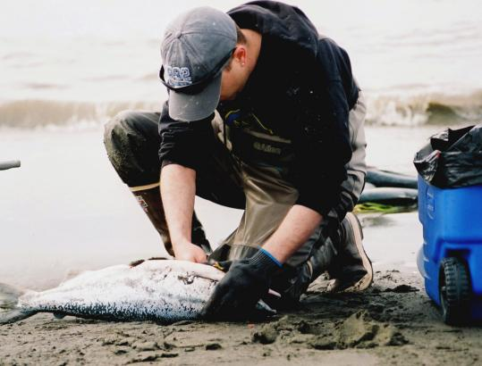 Anchorage hospital employee Sean Boulay filleted a salmon after dipnetting along Alaska's Kenai River in Kenai. Dipnetting permit numbers have more than doubled since 1996.