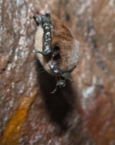 A bat with white-nose syndrome, which is spreading rapidly.