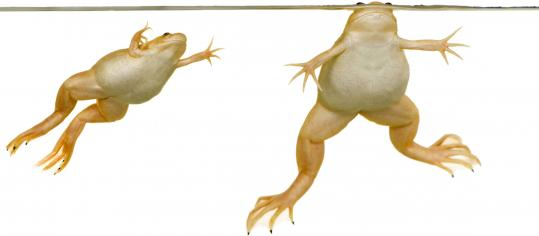 Xenopus laevis, a South African frog, is prized by scientists because it has the ability to regrow the lens of its eye and lays eggs that are big enough for scientists to study and manipulate.