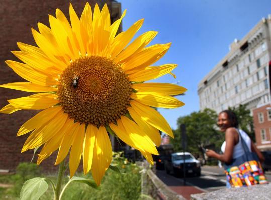 The student garden at Harvard University, along bustling Mount Auburn Street, often draws second glances from passersby.