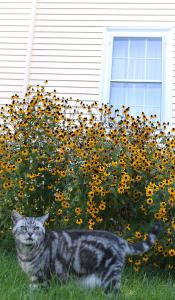 Some perennials, such as rudbeckia (better known as black-eyed susan), provide repeated flushes of bloom throughout the fall if dead flowers are cut off.
