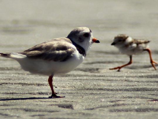 In July, an endangered piping plover watched over it's days-old offspring on Plymouth Beach just before migrating to the gulf.