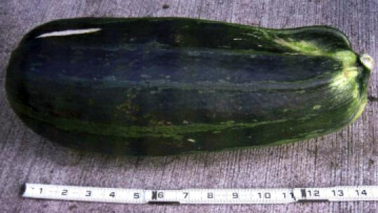 A Montana woman hit a 200-pound bear in the head with this zucchini.