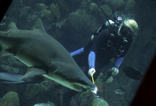The treatment for a parasite in the Great Ocean Tank at the New England Aquarium is a threat to the sharks and rays that live there, so they had to be relocated.