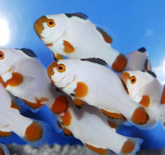 Sea & Reef, run by Soren Hansen, is one of only a few marine labs whose tropical saltwater fish are grown from eggs produced in captivity, including the Maine Blizzard clown fish.
