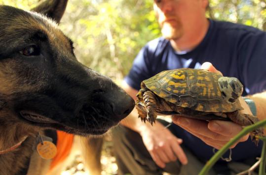 Scott Egan and his turtle-sniffing dog, Jett, roam the former South Weymouth Naval Air Station in search of Eastern box turtles to help rescue them from upcoming road construction.